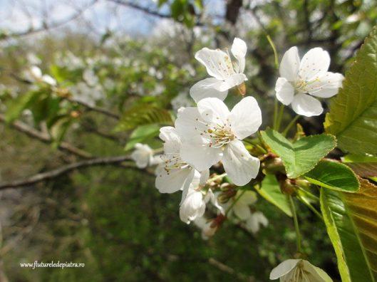 pomi înfloriți belgia