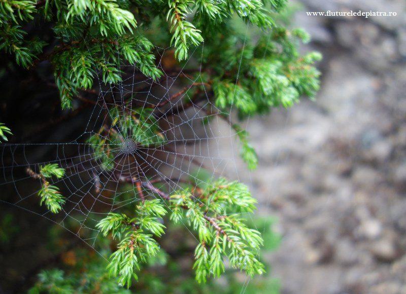 pânză de păianjen printre jnepeni