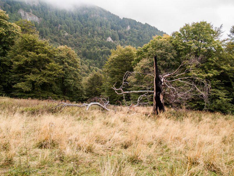 copac trăznit în poiana de la baza Zăganu-Gropșoarele