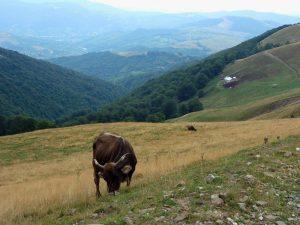 vacă păscând pe colinele Munților Baiului, peisaj idilic
