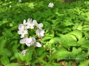 flora din pădurile Buzău