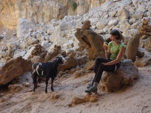 o capră captivă în Sarkit, cerșind mâncare fără rușine, kalymnos