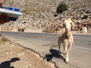 capre din Kalymnos - the goat mafia