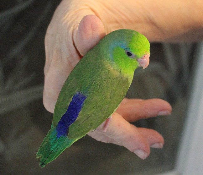 parrotlets fly babies aviary