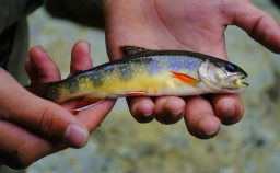 Southern Appalachian strain Brook Trout, Fly Fishing the Smokies
