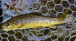 Wild Smokies Brown trout