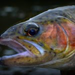 Smoky Mountain Fly Fishing, Fly Fishing the Smokies, Smoky Mountain Rainbow Trout,