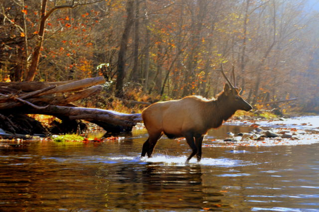 , Smoky Mountain Fly Fishing, Elk in the Great Smoky Mountains,