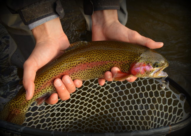 September Fishing Report Great Smoky Mountains, Fly Fishing the Smokies, Fly Fishing Guides Gatlinburg Pigeon Forge Cherokee Bryson City Sevierville Highlands Cashiers Waynesville Maggie Valley