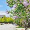 札幌ライラックまつり2015の日程・時間やアクセス情報まとめ