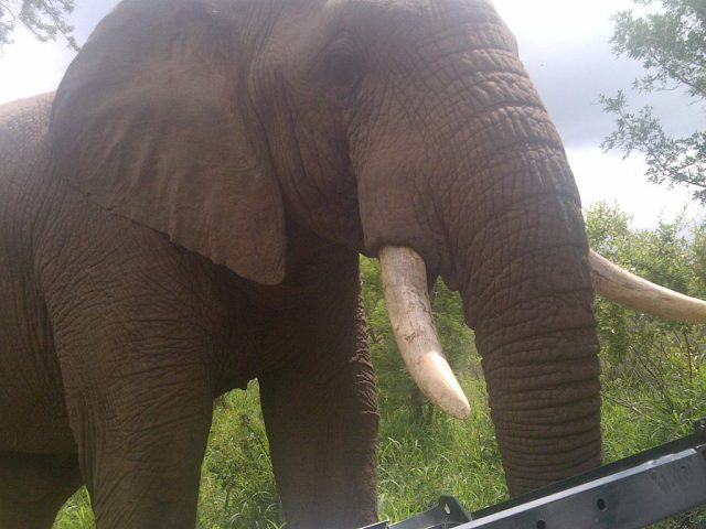 Närkontakt med en elefant på Chisomo