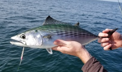 Rhode Island Bonito on light tackle and fly