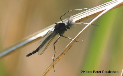 Fly Fishing Chaoborus Glassworms - Adult Midge by Klaus Peter Brodersen