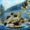 ... chaoborus pupae | flyguys.net