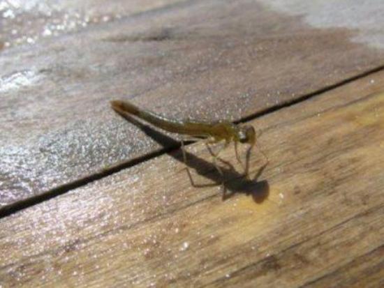 Damselfly Nymph | fall fly patterns