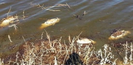 Roche Lake Winter Kill & Trophy Trout ... more winter kill