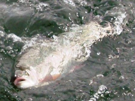 Roche Lake Winter Kill & Trophy Trout ... a beauty roche lake area trophy trout!