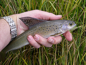 Yellowstone Grayling