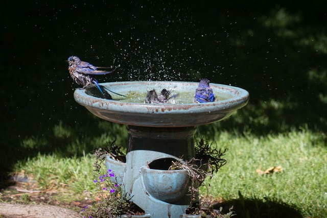Bluebirds having a bath.