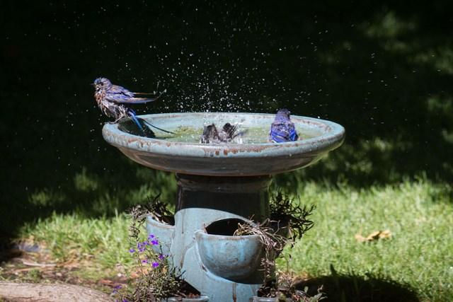 Bluebirds having a bath.