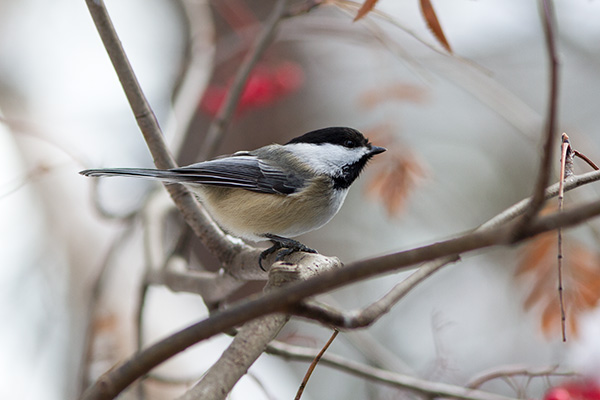 Winter black-capped Chickadee