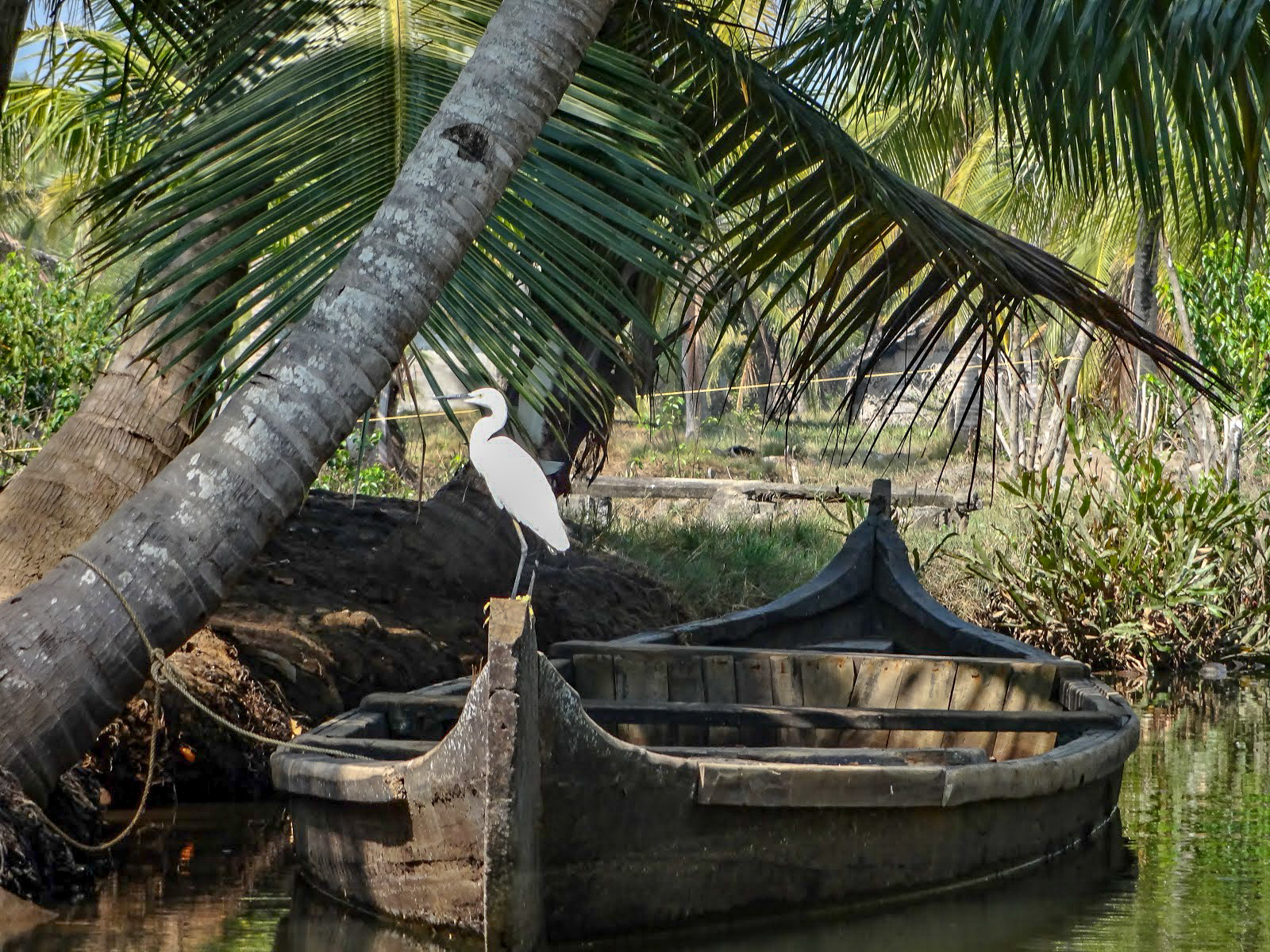 A white little egrot heron bird sits on the bow of a wooden boat in the Kappil Backwaters, Kerala, India