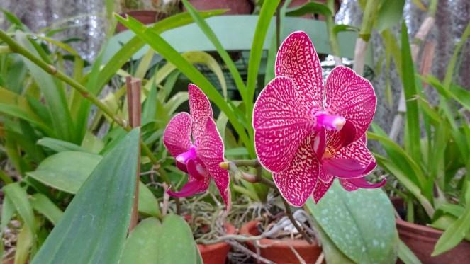 close up of a pink orchid flower in the Royal Botanical Gardens, Peradeniya, Sri Lanka