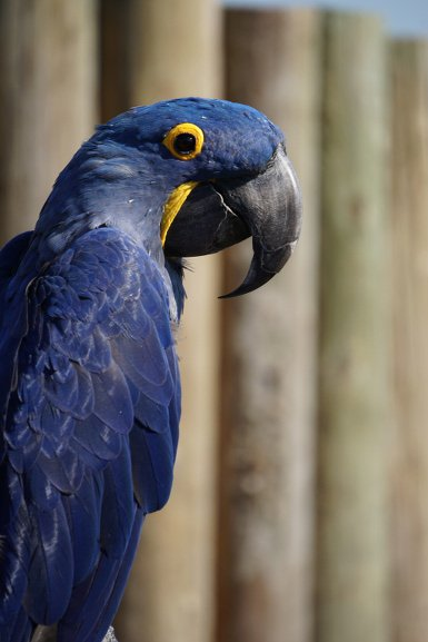Animal - Blue Parrot