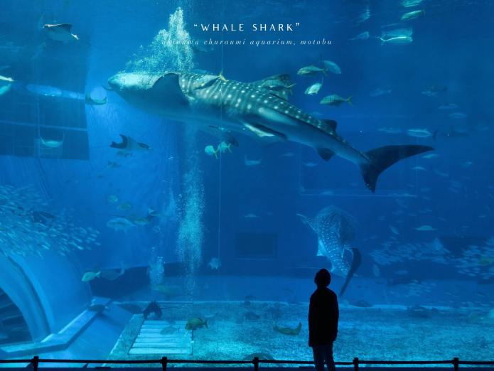 Whale shark @ Okinawa Churaumi Aquarium, Motobu