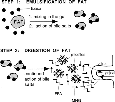 Image result for bile fat emulsification