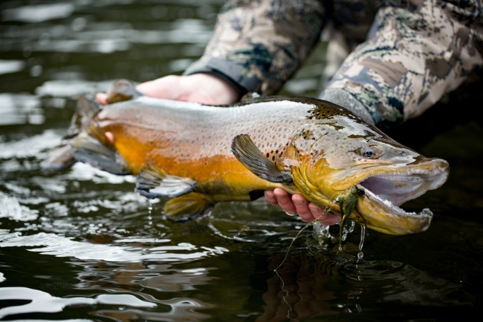Here's to Catch and Release: Giant Brown Trout thumbnail