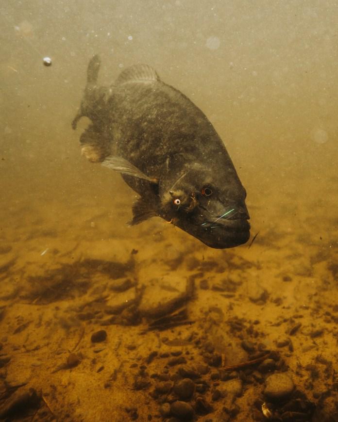 Salmon River New York Smallmouth Bass