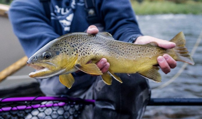 streamer fish on the roaring fork river