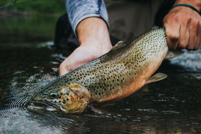 Collins trout