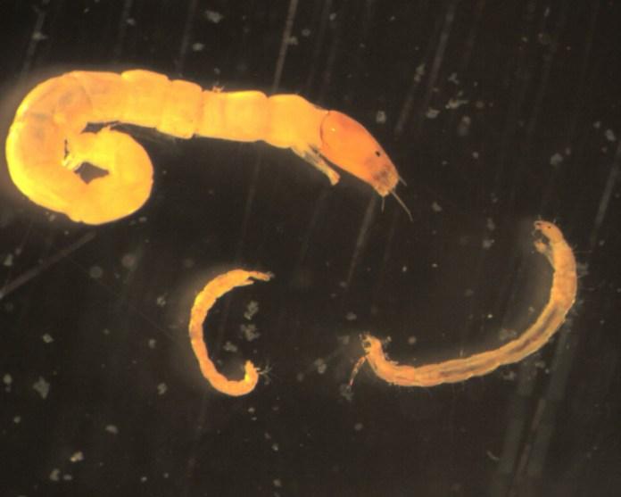 3 midge larvae