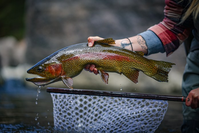 "A perfect Rainbow Trout caught while Fly Fishing the ""Dream Stream"" stretch of the South Platte"