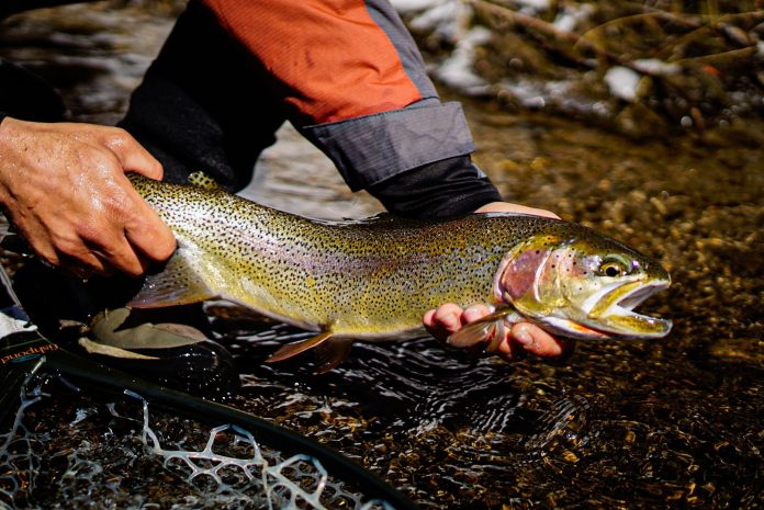 A cutbow caught while fly fishing on the South Platte River
