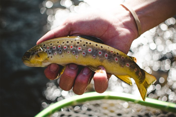 Shooting a gorgeous Wild Brown Trout with a shallow depth of field