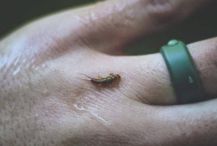 Golden Stone Fly