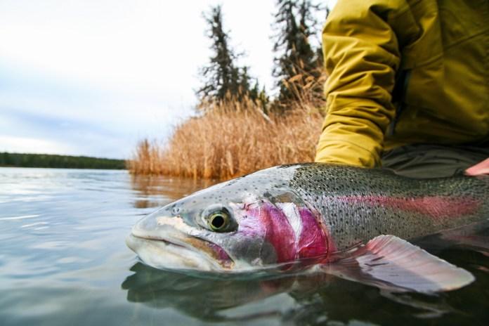 kenai river rainbow trout alaska