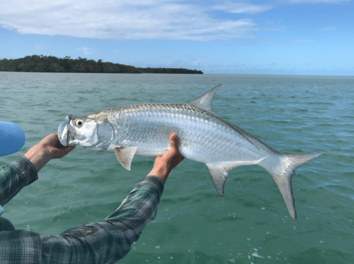 tarpon in belize