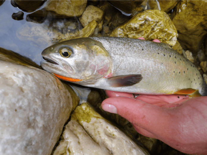 A relict cutthroat from the west slope of the Bighorns.