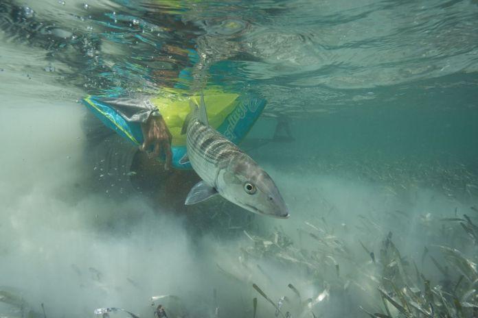releasing a bonefish underwater