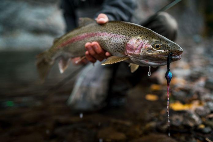 a fat alaskan rainbow trout