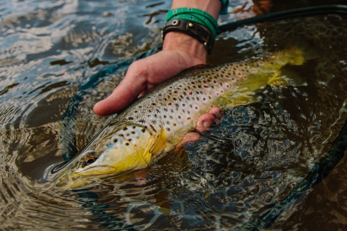 Brown trout held in the water