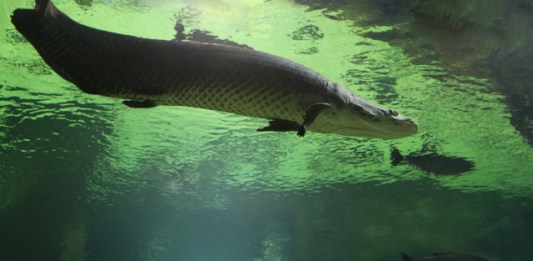 Arapaima underwater from below