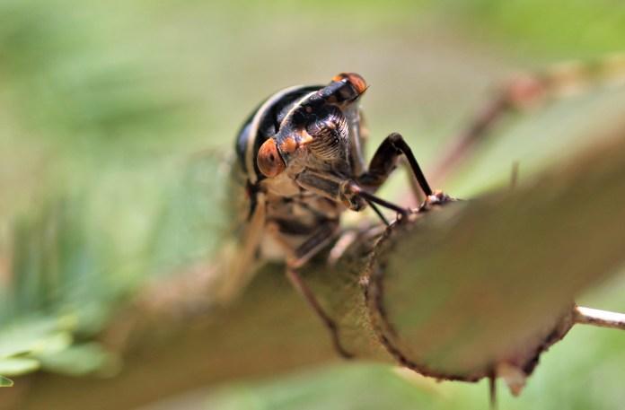 Adult periodical cicada