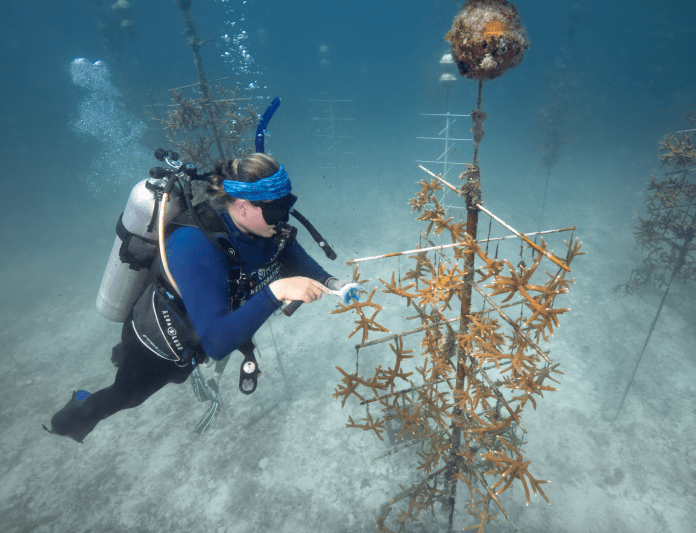 Diver cleans off coral in one of the oceanic nurseries