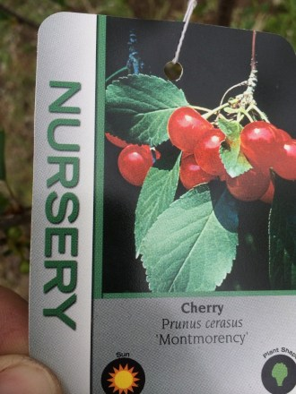 Cherry - Prunus cerasus 'Montmorency'