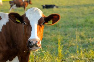 """""""Cow"""" by maraker is licensed under CC BY-NC-ND 2.0"""